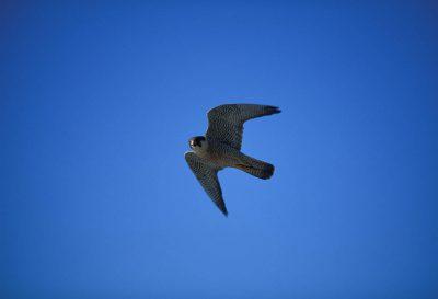 Photo: A peregrine falcon flies above Alaska's North Slope.