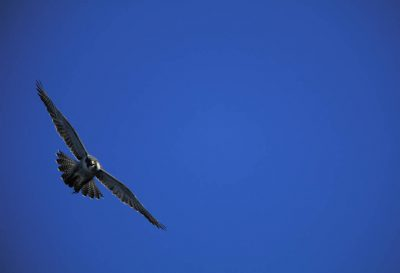 Photo: A peregrine falcon flies above Alaska's North Slope.