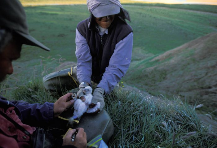 Photo: Researchers band a peregrine falcon chick in order to track what habitat the birds are using repeatedly and how old the birds are when they return to the nest.