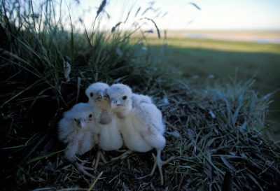 Photo: Three peregrine falcon chicks huddle in their cliff nest along the Colville River, the Slope's largest.