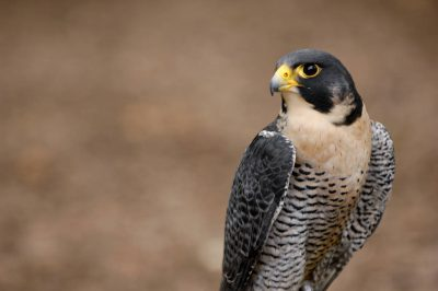 Federally endangered peregrine falcon (Falco peregrinus) at the Wild Bird Sanctuary near St. Louis.