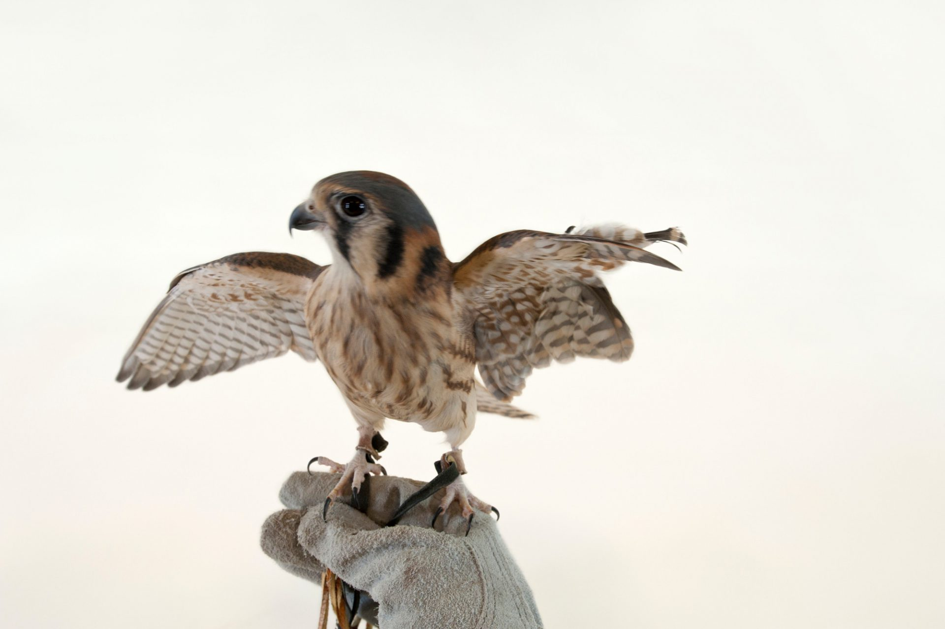 An American kestrel (Falco sparverius) at the Lincoln Children's Zoo.