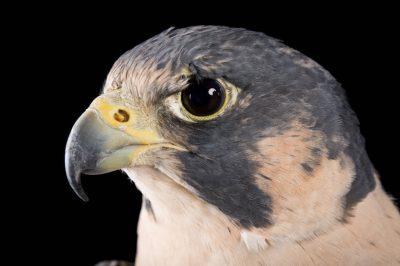 A federally endangered peregrine falcon (Falco peregrinus) at Raptor Recovery Nebraska.