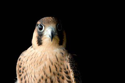 A Barbary falcon (Falco pelegrinoides).