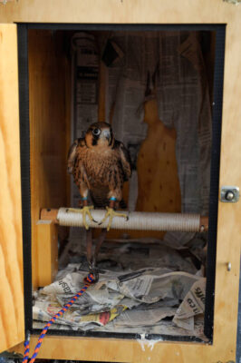 Photo: A Barbary falcon (Falco pelegrinoides) in its cage.