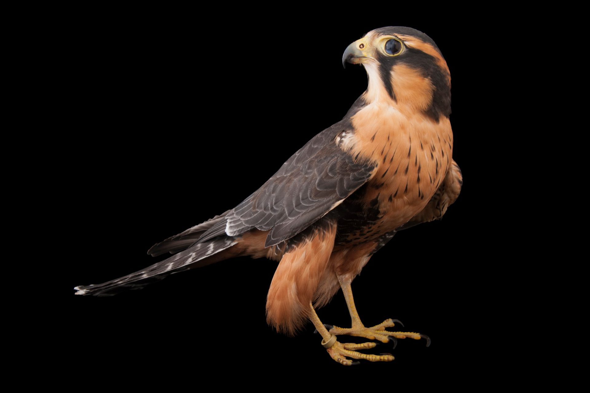 Aplomado falcon (Falco femoralis pichinchae) at the Milford Nature Center.