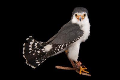 An African pygmy falcon (Polihierax semitorquatus) at the Houston Zoo.