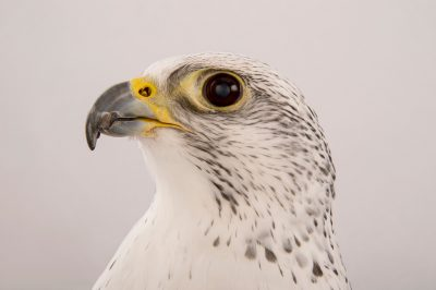 Picture of a gyrfalcon, Falco rusticolus, named Mariah at the Point Defiance Zoo.