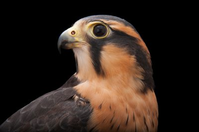 Photo: Aplomado falcon, a federally-listed species, at the Milford Nature Center.