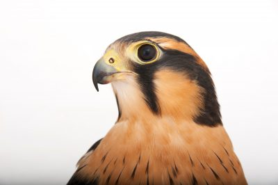 Photo: Aplomado falcon (Falco femoralis pichinchae) a federally-listed species, at the Milford Nature Center.