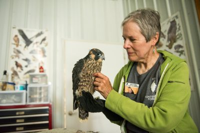 Photo: A woman cares for an injured peregrine falcon at Raptor Recovery Nebraska.