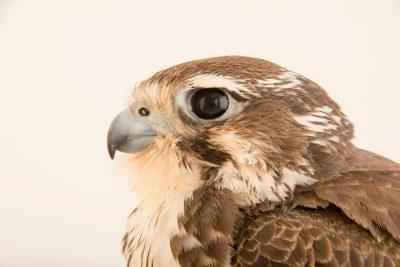 Photo: Prairie falcon (Falco mexicanus) at the Hutchinson Zoo.