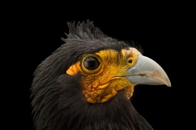 Photo: Carunculated caracara (Phalcoboenus carunculatus) at Parque Jaime Duque near Bogota, Colombia.