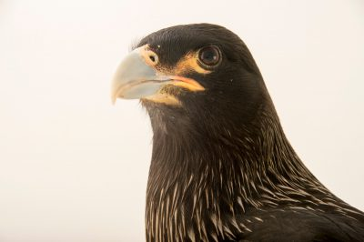 Photo: Striated caracara (Phalcoboenus australis) at the Plzen Zoo in the Czech Republic.
