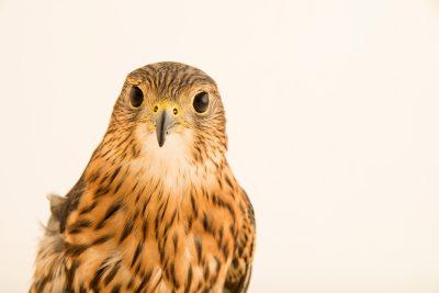 Photo: Merlin (Falco columbarius columbarius) at Bay Beach Wildlife Sanctuary