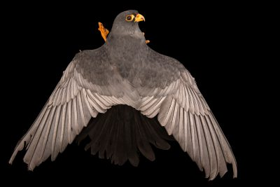 Photo: A male red-footed falcon (Falco vespertinus) at Monticello Center in Italy.