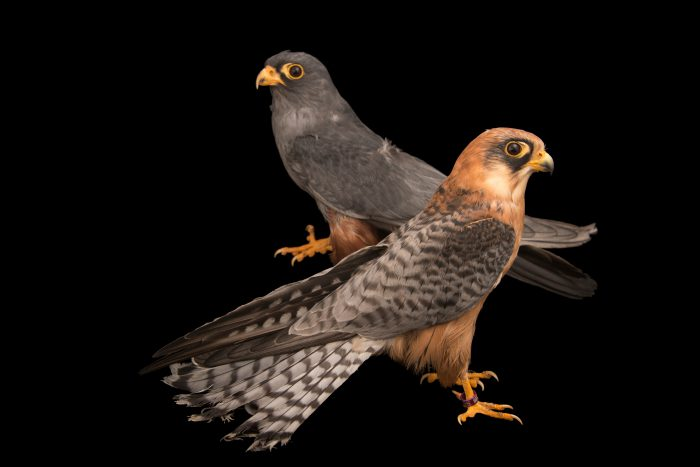 Photo: Male and female red-footed falcon (Falco vespertinus) at Monticello Center in Italy.