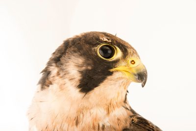 Photo: A Peregrine falcon (Falco peregrinus brookei) at the Wildlife Rescue Center of Rome (LIPU).