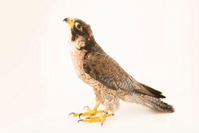 Photo: A Peregrine falcon (Falco peregrinus brookei) at the Wildlife Rescue Center of Rome (LIPU).