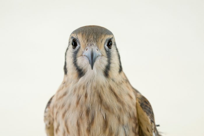 Photo: An American kestrel (Falco sparverius) at the Lincoln Children's Zoo.