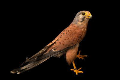Photo: A common kestrel (Falco tinnunculus tinnunculus) at Parque Biologico.