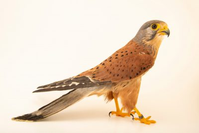 Photo: A common kestrel (Falco tinnunculus tinnunculus) at Parque Biologico.