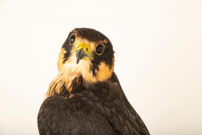 Photo: An Eurasian hobby falcon (Falco subbuteo subbuteo) at Parque Biologico.