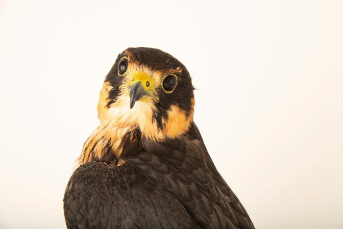Photo: An Eurasian hobby falcon (Falco subbuteo subbuteo) at Parque Biologico.