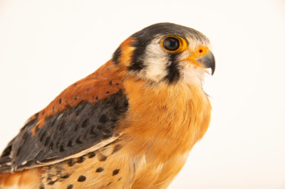 Photo: An American kestrel (Falco sparverius aequatorialis) at Zoologico de Quito.