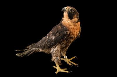 Photo: A peregrine falcon (Falco peregrinus cassini) at Unidad de Rehabilitación de Fauna Silvestre.