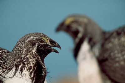 Photo: Male sage grouse call out during a mating display.