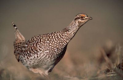 Photo: Male Columbian sharptail grouse on the dancing ground near Craig, CO.
