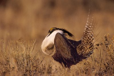 Photo: A male Gunnison's sage grouse struts and displays his inflated neck sac, trying to attract a mate.