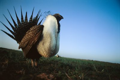 Photo: Greater sage grouse displaying near Pinedale, Wyoming.