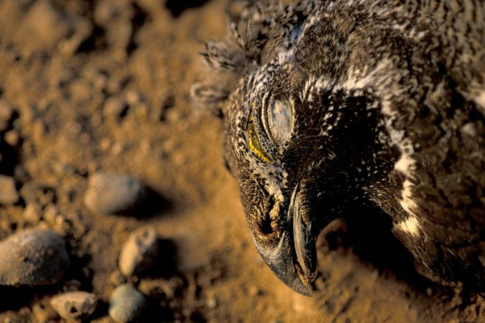 Photo: Road-killed greater sage grouse near Pinedale, Wyoming.