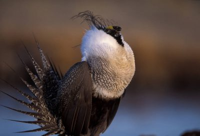 Photo: A male greater sage grouse strutting near Craig, Colorado.