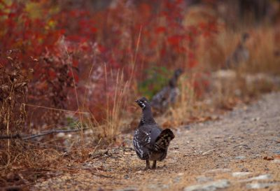 Photo: Spruce grouse at Knight Inlet, British Columbia, Canada.
