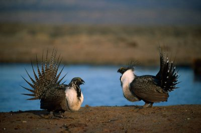 Photo: Male greater sage grouse (Centrocercus urophasianus) at a display ground near Craig, CO.