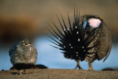 Photo: Male and female greater sage grouse (Centrocercus urophasianus) at a display ground near Craig, CO.