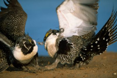 Photo: Greater sage grouse near Craig, CO.