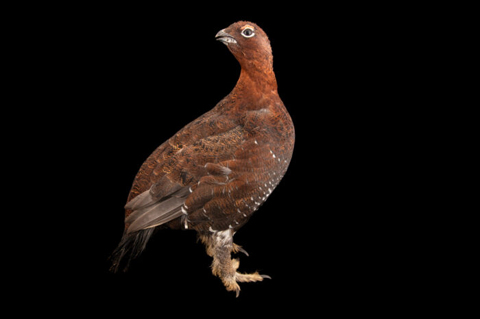 Photo: A male red grouse (Lagopus muticus scotica) at a private collection.