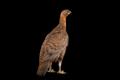Photo: A female red grouse (Lagopus muticus scotica) at a private collection.