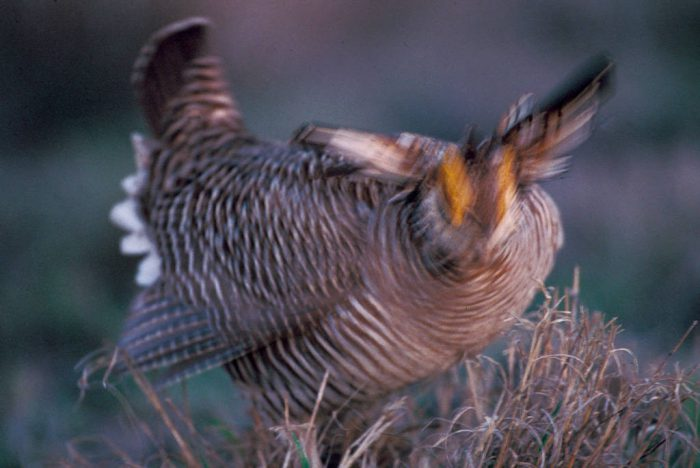 Photo: Lesser prairie-chickens (candidate for federal Endangered Species listing) booming in Oklahoma.