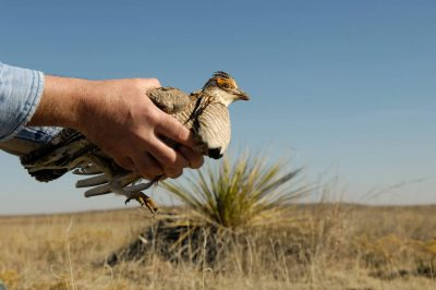 A vulnerable (IUCN) lesser prairie chicken is released back into the wild after a biologist has fitted it with a radio collar and leg bands in Laverne, Oklahoma.