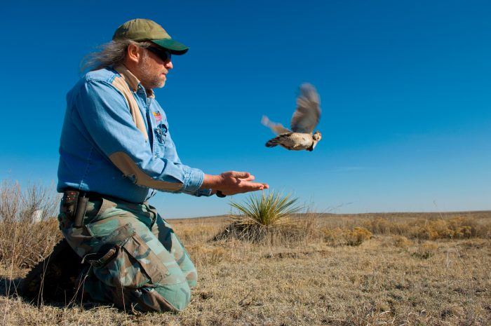 Photo: A lesser prairie chicken is released back into the wild after a biologist has fitted it with a radio collar and leg bands in Laverne, Oklahoma.