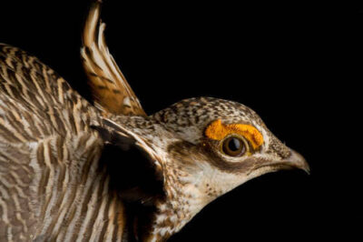 A studio portrait of a vulnerable (IUCN) male lesser prairie-chicken (Tympanuchus pallidicinctus) that was caught to be radio collared.