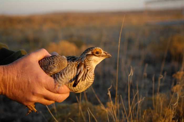 A vulnerable (IUCN) male lesser prairie-chicken (Tympanuchus pallidicinctus) that was caught in a walk-in trap to be radio collared. Lesser prairie-chicken numbers have declined drastically all through their limited range in the Southern Great Plains in recent years. Biologists fear that this species could be lost without habitat improvement such as the marking of fences that the birds often hit in flight, as well as the restriction of wind turbine farms that cause major disruption to the bird.