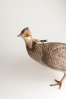 A studio portrait of a vulnerable (IUCN) male lesser prairie-chicken (Tympanuchus pallidicinctus) that was caught to be radio collared.