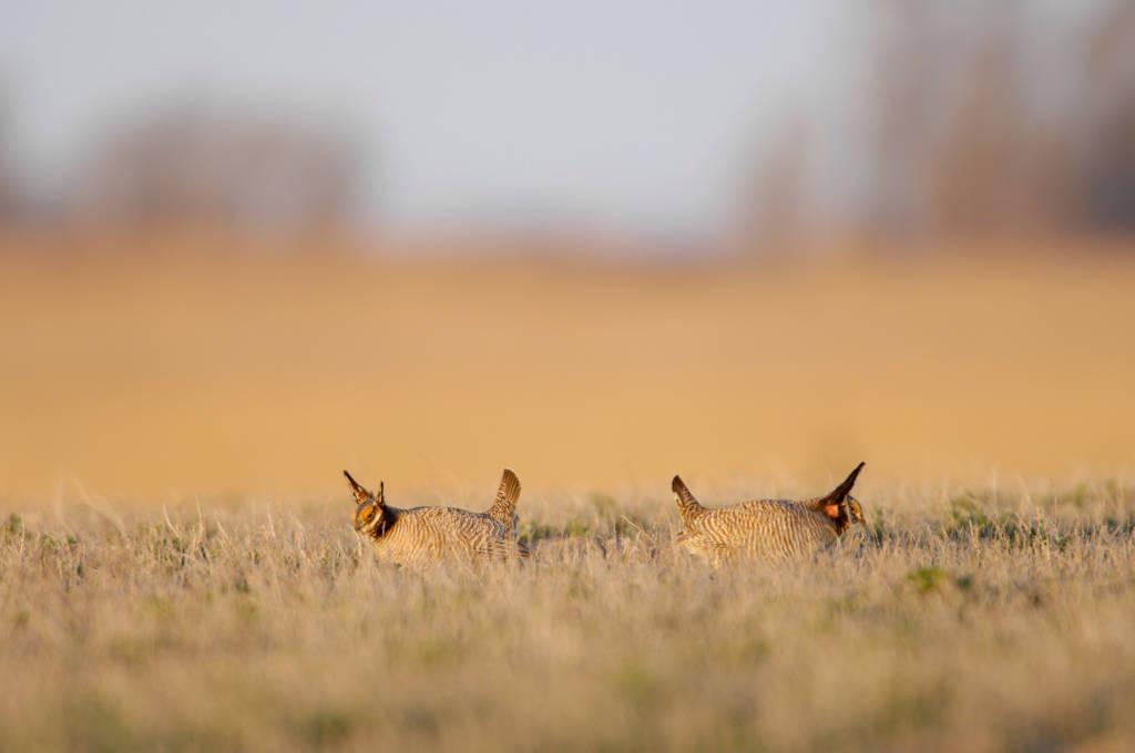 Vulnerable (IUCN) lesser prairie-chickens (Tympanuchus pallidicinctus) perform their annual mating dances on a 'gobbling ground' near Laverne, OK.