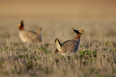 Vulnerable (IUCN) lesser prairie-chickens (Tympanuchus pallidicinctus) perform their annual mating dances on a 'gobbling ground' near Laverne, OK.